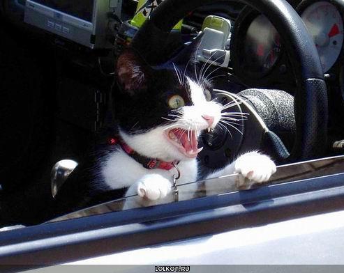 кричащий котик