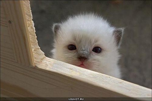 белый маленький котенок