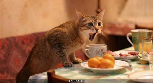 кот орущий за столом