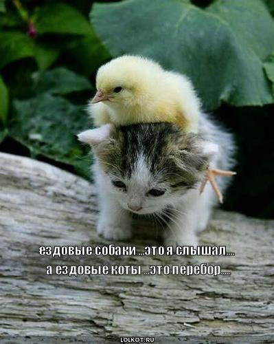 ездовые коты