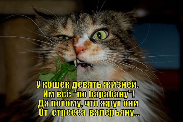 что значит выражение у кошки 9 жизней году Земле